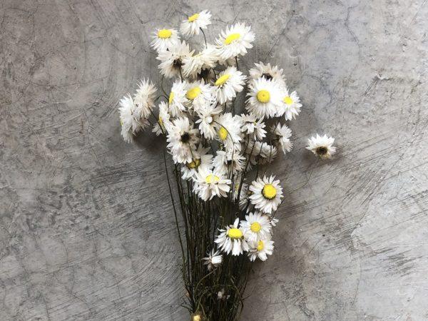 Acroclinium White