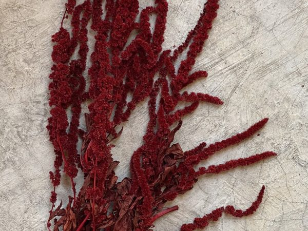 Amaranthus Long Red