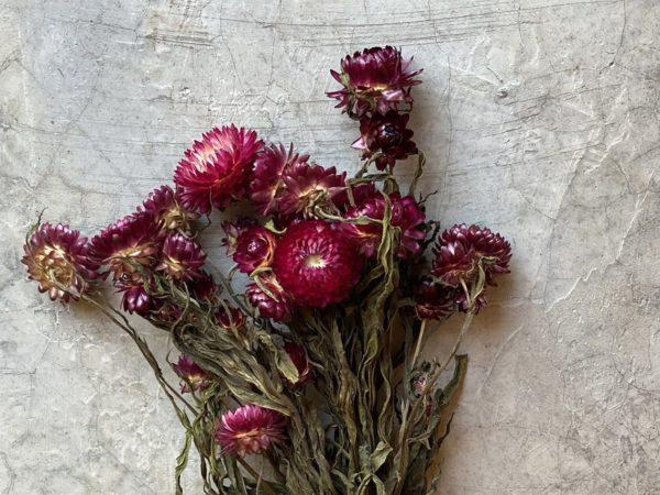Helichrysum Dark Pink
