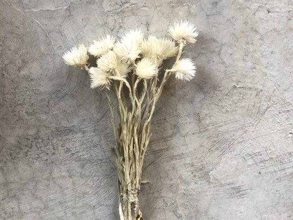 Helichrysum Vestum