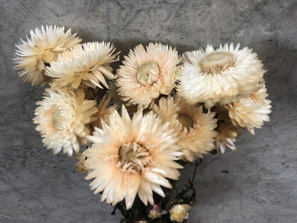 Helichrysum White
