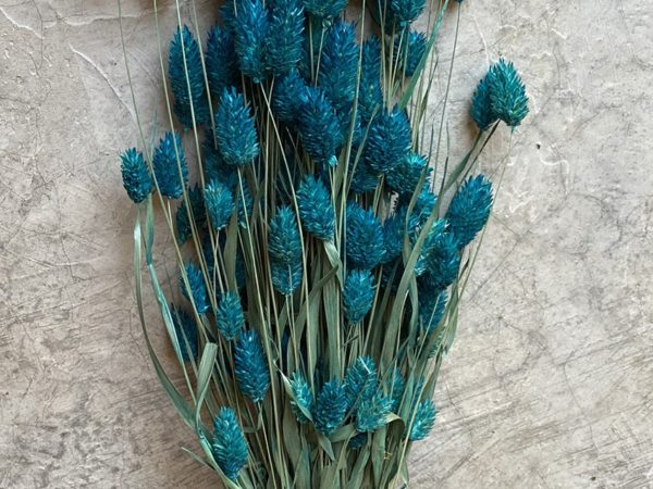 Phalaris Blue