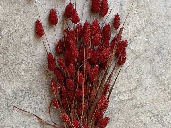 Phalaris Red