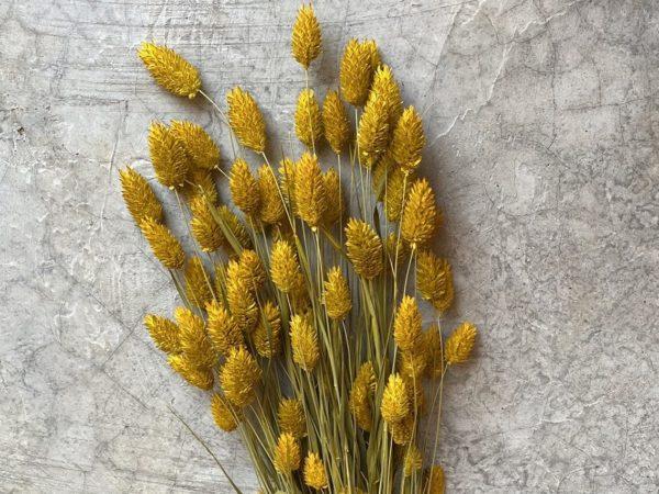 Phalaris Yellow