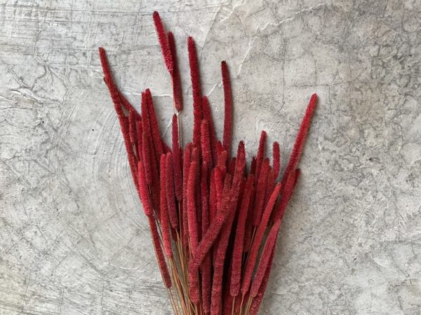 Phleum Red