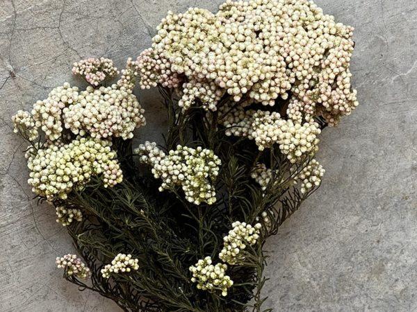 Rice Flower